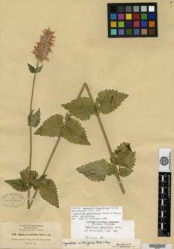 Image of Agastache glaucifolia