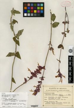 Agastache pallida var. coriacea image
