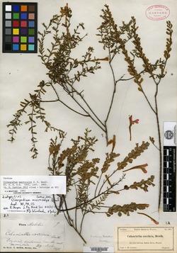 Image of Clinopodium macrocalyx
