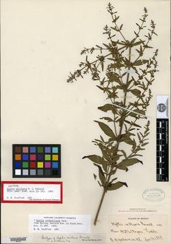 Image of Condea verticillata