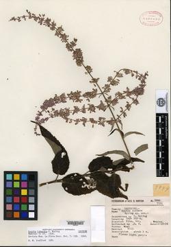Image of Hyptis iodantha