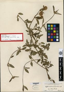 Image of Hyptis lantanifolia