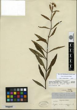 Image of Hyptis actinocephala