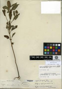 Image of Cantinoa americana
