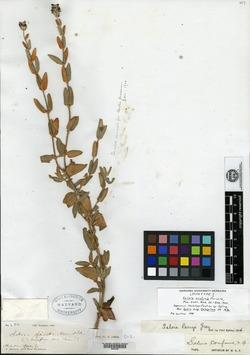 Image of Salvia confinis