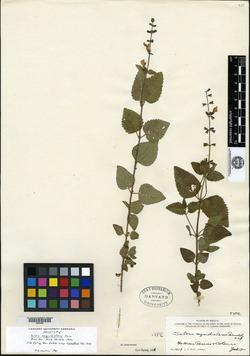 Image of Salvia aequidistans