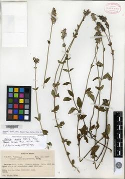 Image of Salvia agnes