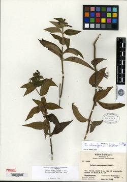 Image of Salvia opertiflora