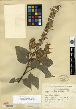 Image of Salvia arbuscula