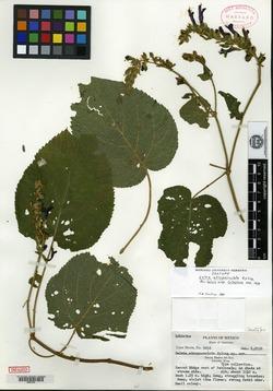 Image of Salvia atropaenulata