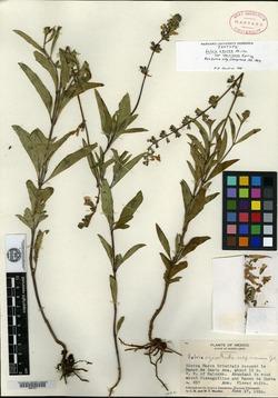 Image of Salvia jaimehintoniana