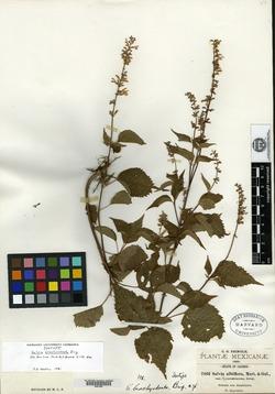Image of Salvia brachyodonta
