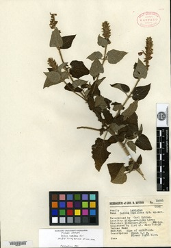 Image of Salvia capillosa