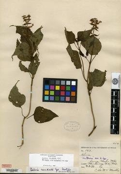 Image of Salvia caudata
