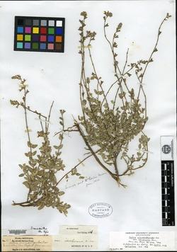 Salvia chamaedryoides image