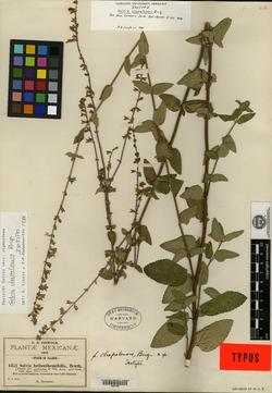 Image of Salvia chapalensis