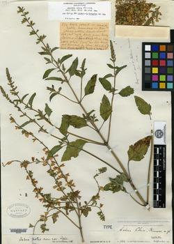 Image of Salvia chia