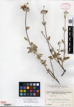 Image of Salvia chionopeplica