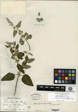 Image of Salvia conzattii
