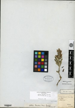 Image of Salvia coulteri
