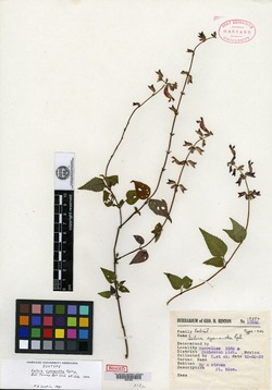Image of Salvia cyanantha