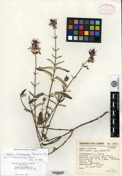Image of Salvia cyanicephala