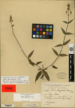 Image of Salvia dasycalyx