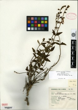 Image of Salvia dichlamys
