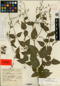 Image of Salvia dryophila