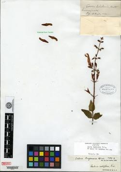 Image of Salvia dugesiana