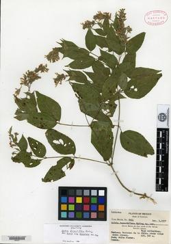 Image of Salvia durantiflora