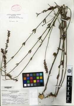 Image of Salvia exilis