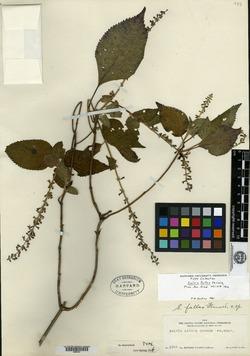 Image of Salvia fallax