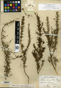 Image of Salvia rosmarinus