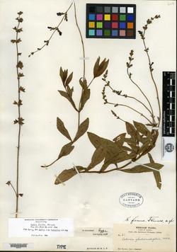 Image of Salvia firma