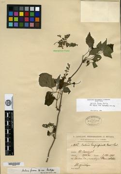 Image of Salvia fusca