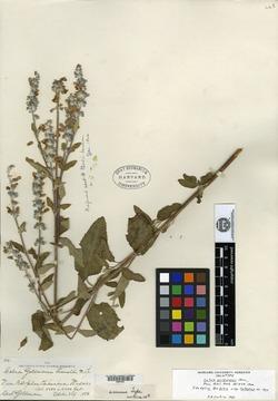 Image of Salvia rubropunctata