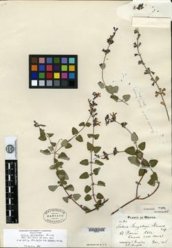 Image of Salvia gonzalezii