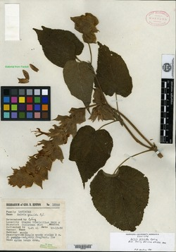 Image of Salvia gravida