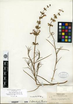 Image of Salvia heterotricha