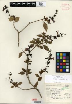 Image of Salvia hintonii