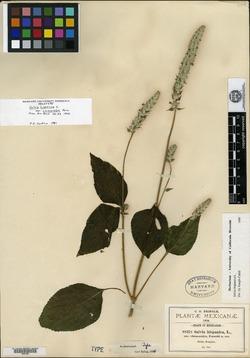 Salvia hispanica image