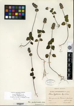 Salvia lasiocephala image