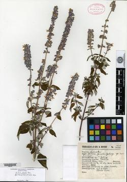 Image of Salvia jacobi