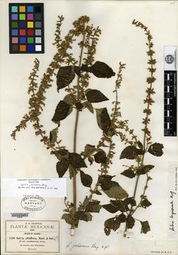 Image of Salvia jaliscana