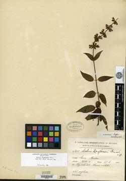 Image of Salvia langlassei