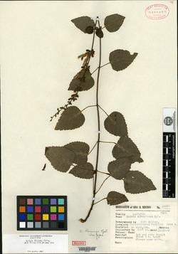 Image of Salvia leninae