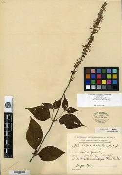 Image of Salvia lenta