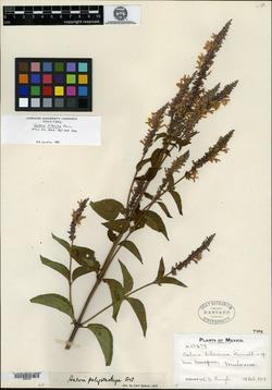 Image of Salvia lilacina