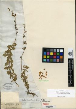 Image of Salvia macellaria